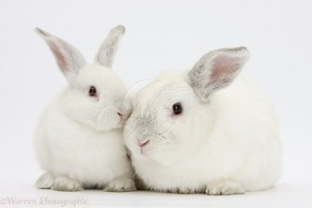 Elderly white rabbit, Foggy, 8 years old, and his young son, 9 weeks old